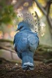 Victoria coronó la paloma Foto de archivo libre de regalías