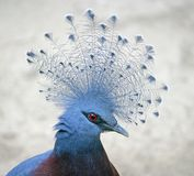 Victoria coroou o pombo 1 foto de stock royalty free