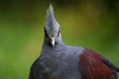 Victoria coroou o pombo Fotografia de Stock