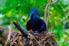Victoria coroou o pombo, goura de Victoria imagens de stock royalty free