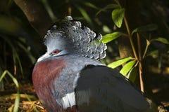 Victoria a couronné l'oeil de rouge de pigeon Image stock