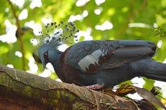Victoria a couronné l'oiseau de Goura Victoria de pigeon Photographie stock