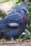 Victoria a couronné l'oiseau de pigeon, Papouasie-Nouvelle Guinée Images libres de droits