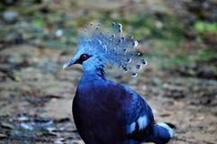 Victoria a couronné le pigeon photos libres de droits