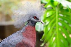 Victoria a couronné le pigeon photos stock