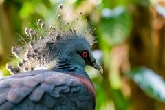 Victoria a couronné le pigeon Photographie stock libre de droits
