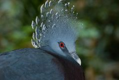 Victoria Crested le pigeon Image stock