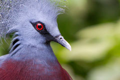 Victoria Crowned bird (Goura victoria) Royalty Free Stock Photo