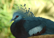 Victoria crowned pidgeon, Goura victoria, Stock Images
