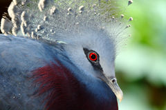 Victoria crowned pidgeon, Goura victoria, Royalty Free Stock Photography