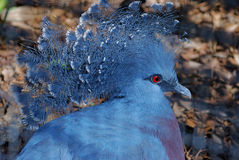 Victoria Crowned Pigeon. Portrait of a Victoria crowned pigeon on blurred brown background Stock Photography