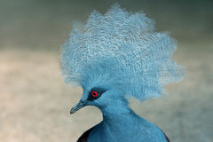Victoria Crowned Pigeon. White pigeon standing at the wood looking at the camera Royalty Free Stock Photos