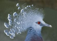 Victoria crowned pigeon. Portrait shot of a victoria crowned pigeon royalty free stock photo