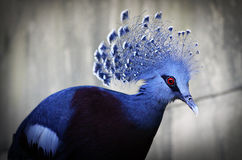 Victoria Crowned Pigeon Royalty Free Stock Photo
