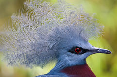 Victoria Crowned Pigeon Stock Photography