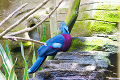Victoria crowned pigeon. Close up in a sunny day stock photo