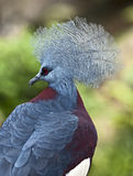 Victoria Crowned Pigeon Stock Image