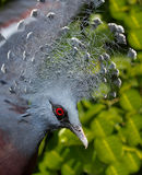 Victoria Crowned pigeon. Close up of Victoria Crowned pigeon Royalty Free Stock Photos