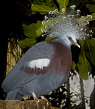 Victoria crowned pigeon 2 Royalty Free Stock Image