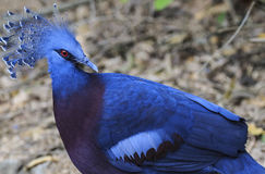 Victoria Crowned Pigeon immagini stock