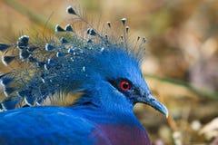 Victoria Crowned Pigeon Lizenzfreie Stockbilder
