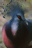 Victoria Crowned Pigeon. A portrait of a Victoria Crowned Pigeon Royalty Free Stock Image