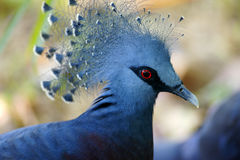 Victoria Crowned Pigeon. A portrait of a Victoria Crowned Pigeon Royalty Free Stock Photography