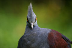 Victoria Crowned Pigeon. A portrait of a Victoria Crowned Pigeon Stock Photography