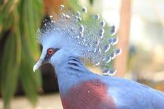 Victoria Crowned Pigeon Royaltyfri Bild