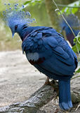 Victoria crowned pigeon 5 Stock Photos