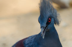 Victoria Crowned Pigeon Alerting Stock Photo