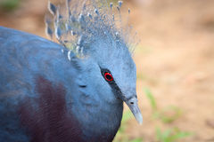 Victoria Crowned Pigeon bird (Goura victoria) Royalty Free Stock Photography