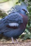 Victoria crowned pigeon bird , papua new guinea Royalty Free Stock Images