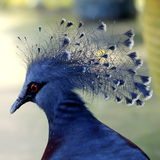 Victoria Crowned Pigeon. A Close-up View of Victoria Crowned Pigeon Stock Images