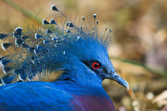 Victoria Crowned Pigeon Royalty Free Stock Images