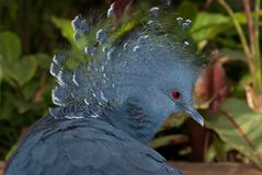 Victoria crowned pigeon (Goura victoria) Royalty Free Stock Photography