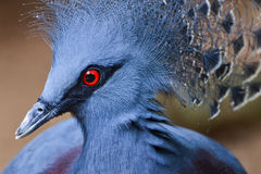 Victoria crowned pigeon (Goura victoria) Royalty Free Stock Photos