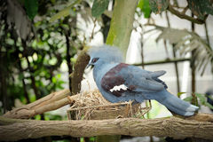 Victoria crowned pigeon (Goura victoria) Royalty Free Stock Image