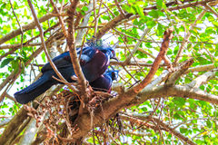 Victoria Crowned Pigeon or Goura victoria. Exotic bird called Victoria Crowned Pigeon Royalty Free Stock Photo
