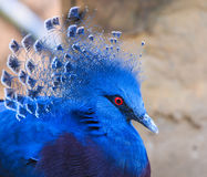 Victoria Crowned Pigeon or Goura victoria Royalty Free Stock Photo