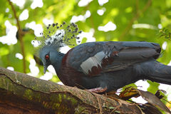 Victoria crowned pigeon  Goura victoria bird Stock Photography