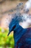 Victoria Crowned Pigeon (Goura victoria) bird Stock Image