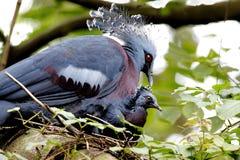 Victoria crowned pigeon Goura victoria Stock Image