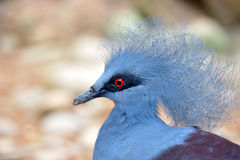 Victoria Crowned Pigeon (Goura victoria) Royalty Free Stock Photo