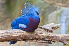 Victoria Crowned Pigeon or Goura victoria Royalty Free Stock Photos
