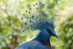 Victoria crowned pigeon-Goura victoria. Victoria crowned pigeon is in the rainforest Royalty Free Stock Image
