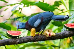 Victoria Crowned Pigeon-het voeden op watermeloen op een voedende toppositie royalty-vrije stock foto