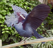 Victoria crowned pigeon 7 Royalty Free Stock Photography