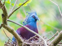 Victoria crowned pigeon in the nest Stock Photo