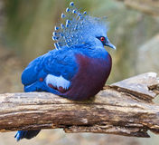 Victoria Crowned Pigeon o Goura Victoria fotografie stock
